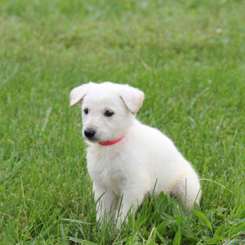 White German Shepherd female