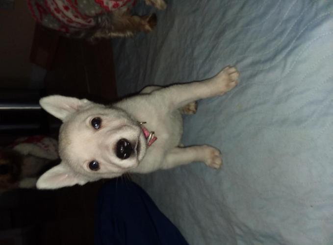 White German Shepherd Puppies For Sale In Marysville Ohio
