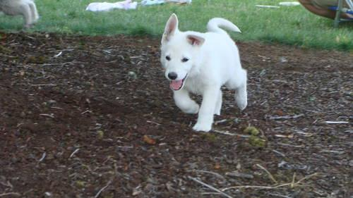 Pets And Animals For Sale In Silverton Oregon Puppy And Kitten