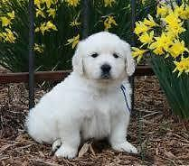 White Golden Retriever Puppies For Sale In Hampton Falls New
