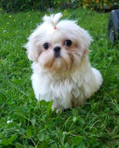 Pictures Of Shih Tzu White Rock Cafe