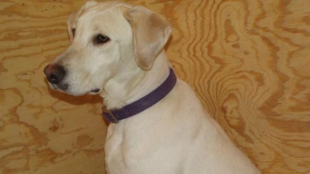 White Labrador Retriever Puppies For Sale For Sale In Antioch