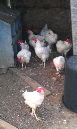white leghorn laying hens (haskell)