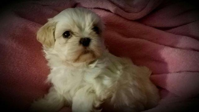 White Male Shih Tzu Puppy 6 Weeks Old For Sale In Alpha New Jersey