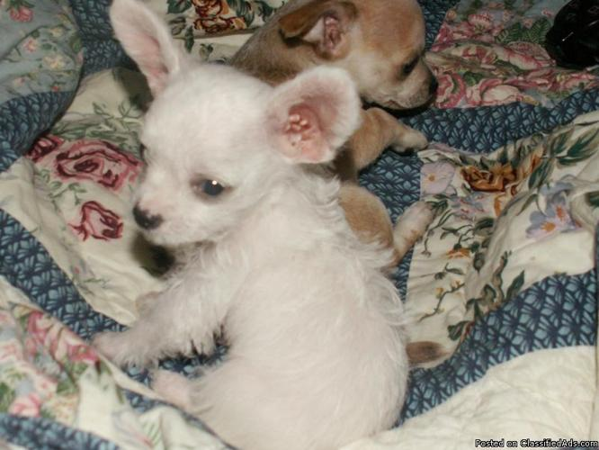 pomeranian mix chihuahua Pets and Animals for sale in the