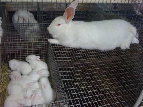 White New Zealand meat Rabbits