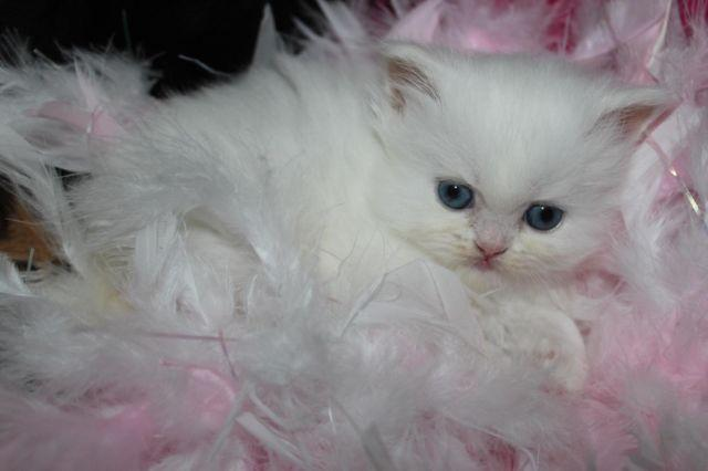 White Persian female blue eyed kitten