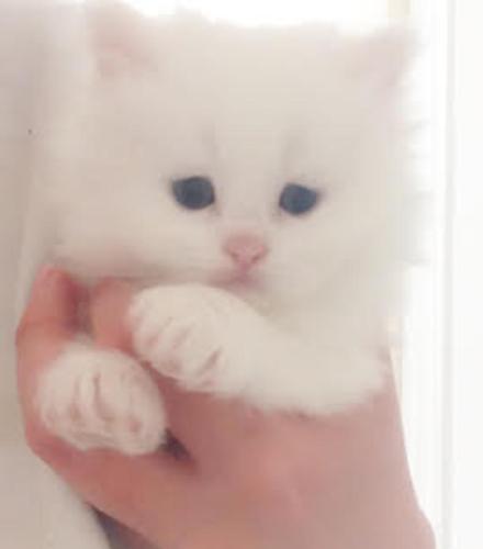 White Persian Kitten f...