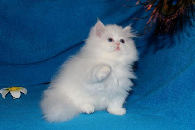 free blue persian kittens for sale in California Classifieds & Buy ...