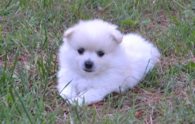 pomeranian breeders va white pomeranians for sale in virginia beach virginia 2962