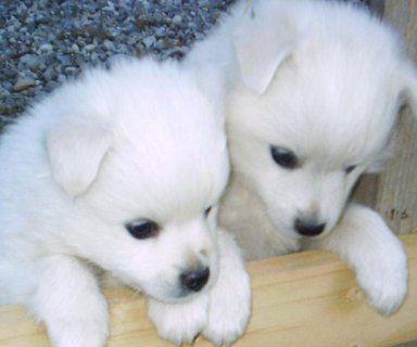 White Siberian Husky Puppies