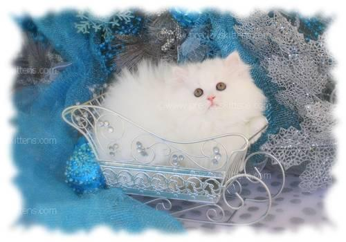 White Teacup Persian Kitten - Ready for Christmas! for Sale in ...