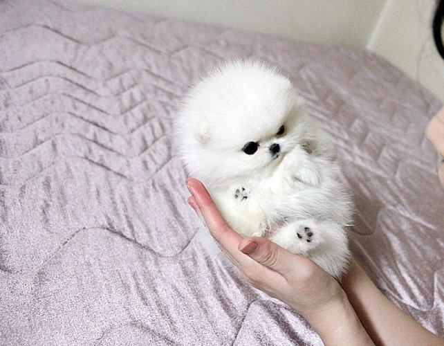 Baby Teacup Pomeranian White - cuteanimals - photo#43