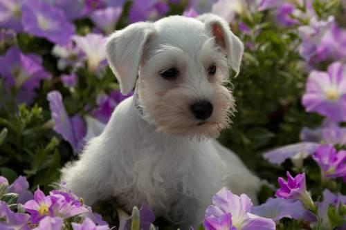 Dog Puppies For Sale In Houston Texas