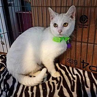 WHITE, Vanna Domestic Shorthair Young Female