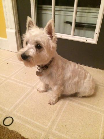 White West Highland Terrier puppies ready to go 11/16/2014