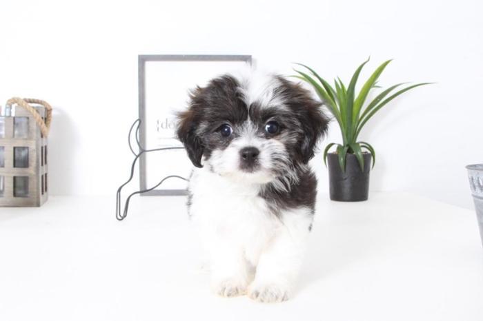Whitney- Female Teddy Bear Puppy