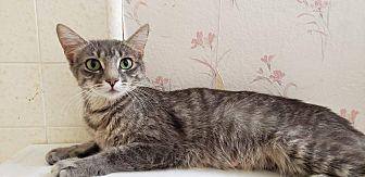 Willa Domestic Shorthair Young Female