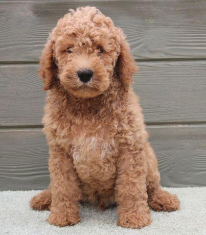 Willie Playful F1b Red Male Medium Labradoodle Puppy For Sale In