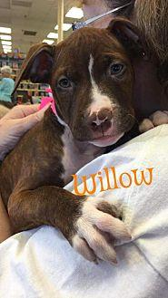 Willow American Pit Bull Terrier Puppy Female