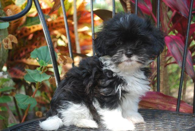 Willow is a Beautiful Havanese Baby