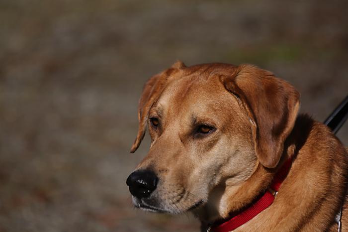 Redbone Coonhound Chocolate Lab Mix - petfinder