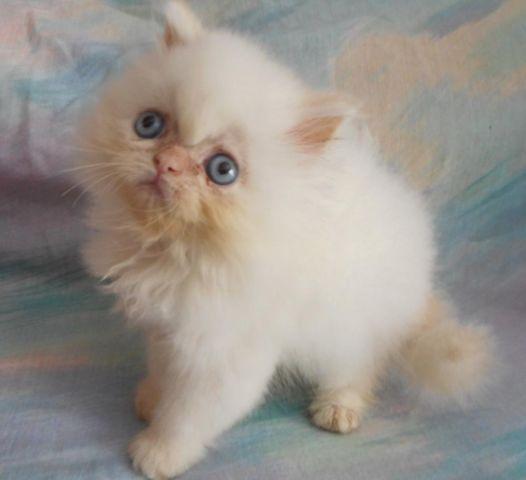 Wini - A CFA Himalayan/Persian Female Kitten for Sale in Saint ...