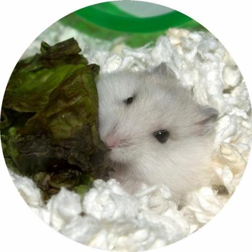 Winter White Dwarf Hamster Pups, Born 26 March, Males -5754