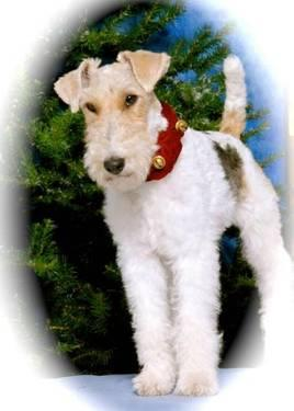 Wire Fox Terrier Rescue Midwest | Wire Fox Terrier Billie Small Adult Female Dog For Sale In