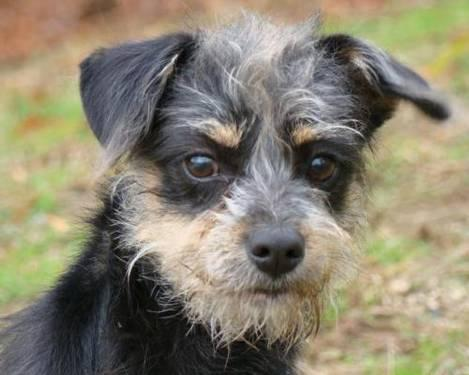 Wirehaired Terrier - Tivo - Small - Adult - Male - Dog for Sale in ...