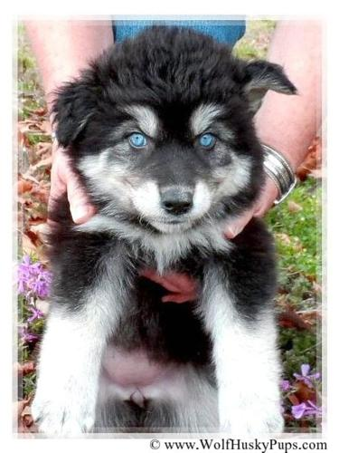 Wolf Hybrid Puppies Pets And Animals For Sale In The Usa Puppy And