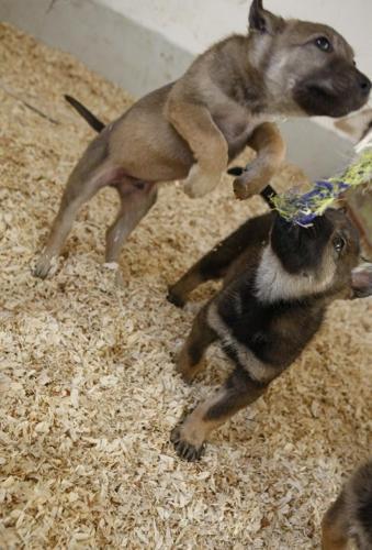 Wolfdog Puppies