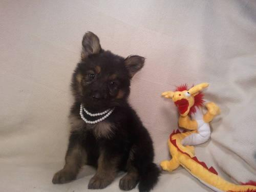 Wonderful AKC German Shepherd Dog Puppies