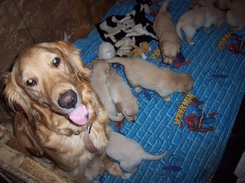 ... Golden Retriever puppies Available 9-15 for sale in Gainesville, New