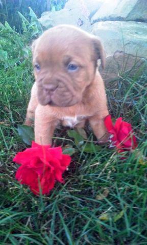 wont last long. akc dogue de bordeaux puppies for Sale in ...