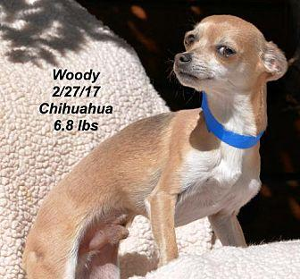 Woody Chihuahua Young Male
