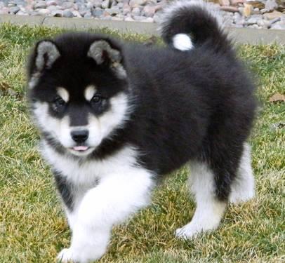 Giant Alaskan Malamute Puppies For Sale In California Classifieds