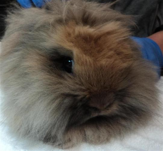 Rabbits Wooly Classifieds Buy Sell Rabbits Wooly Across