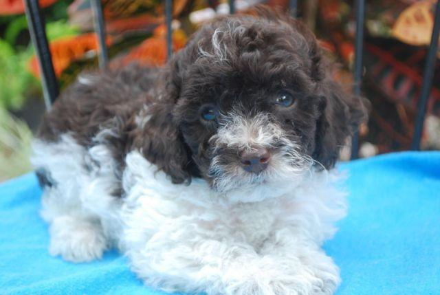 WoW LOOK at this handsome little Toy Poodle