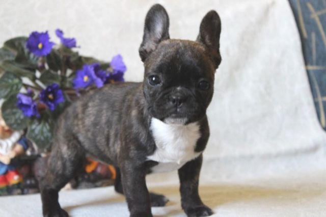 Wow Pocket French Bulldog Female Puppy In La Ca For Sale