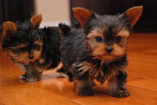 Wow Teacup Yorkie Puppies For Free Home Adoption For Sale In Los