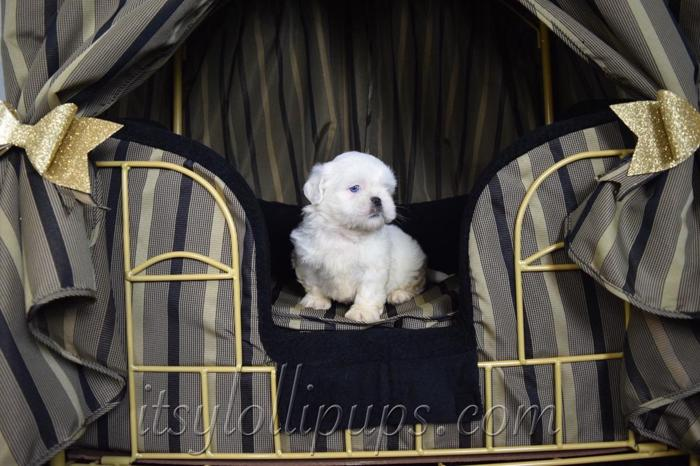 Brown White Multi Shih Tzu Pets And Animals For Sale In Hayward