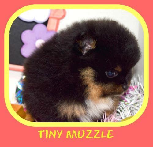 Pomeranian For Sale In Martinez California Classifieds Buy And