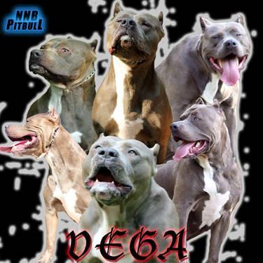 XXL Blue Pitbull Puppies
