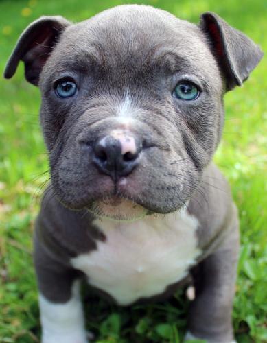 Xxl Ukc Gottiline Blue Pitbull Puppy Males For Sale For