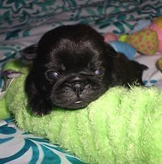 Yellow Collar ~ AKC Black FEMALE Pug Puppy ~ Raised in