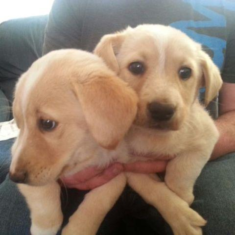 Labrador puppies for sale vancouver