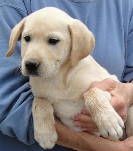 Yellow Labs Dogs For Sale Only