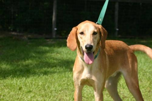 Yellow Labrador Retriever - Oliver - Medium - Young -