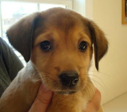 Yellow Labrador Retriever Puppies Medium Baby Female For Sale In Calwood Missouri